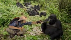 a-hegyi-gorilla-gyerektv