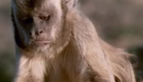 a-kapucinus-majom-gyerektv
