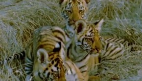 tigrisek-gyerektv